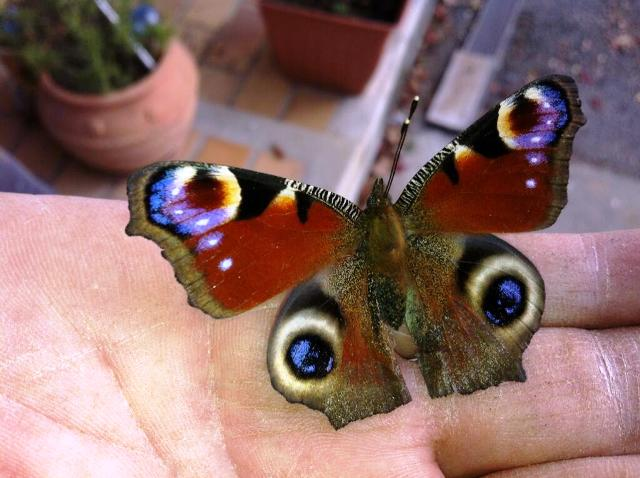 Peacock butterfly, Inachis io, Paon de jour
