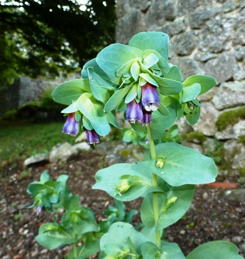 Cerinthe major, Cérinthe, Grand mélinet