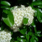 Pyracantha. Buisson ardent