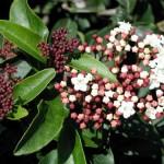 Viburnum tinus, Laurier tin