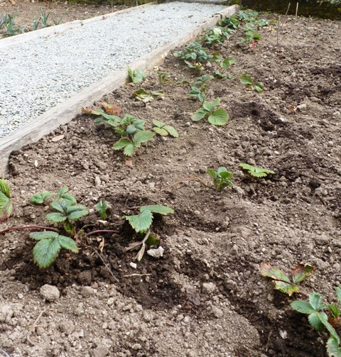 Transplanted strawberries