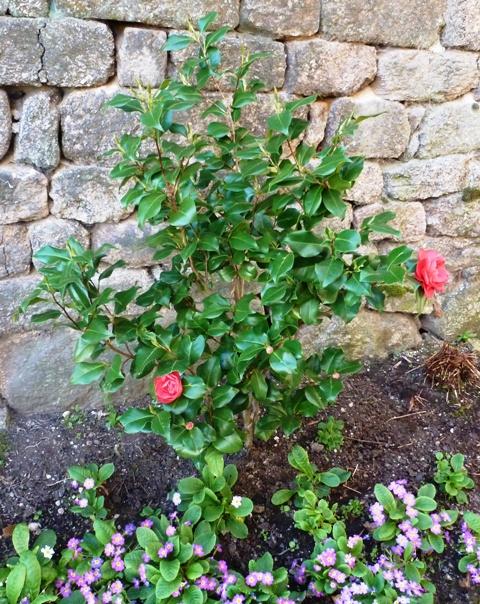Camellia, Camélia