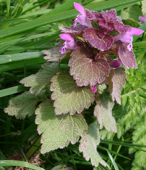Red Dead-nettle (Lamium purpureum).  French names: Le Lamier pourpre, Ortie rouge, Ortie morte, Ortie puante