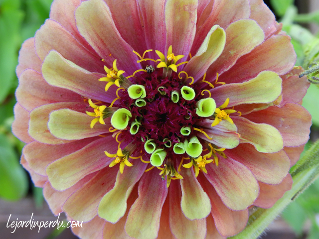 Companion plants for vegetable patch Zinnia