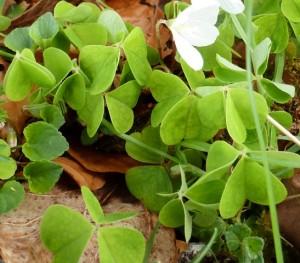 Wood Sorrel, Oxalis acetosella,  l'Oseille des bois, Oxalis petite oseille