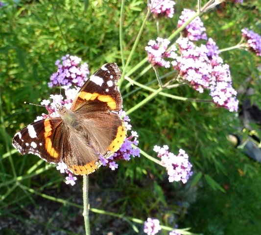 Red admiral on verbena bonariensis