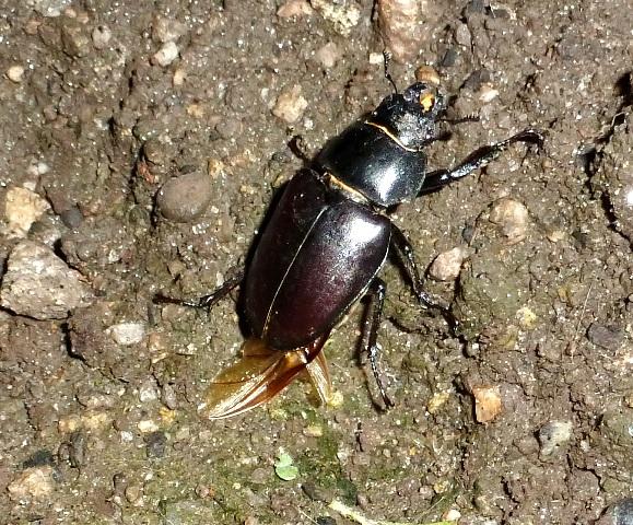 Female Stag beetle, Lucanus cervus, le Lucane cerf-volant