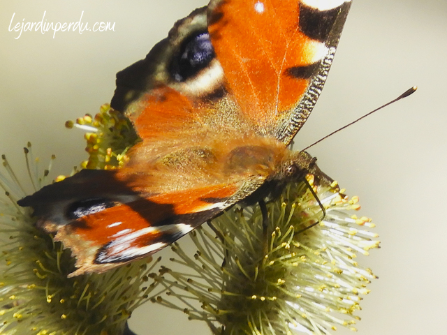 Peacock butterfly on goat willow catkin