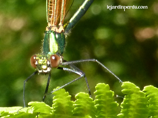 Beautiful Demoiselle, Calopteryx virgo, Caloptéryx vierge