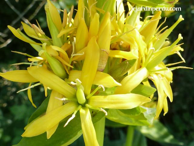 Great Yellow Gentian, Gentiana lutea, La gentiane jaune