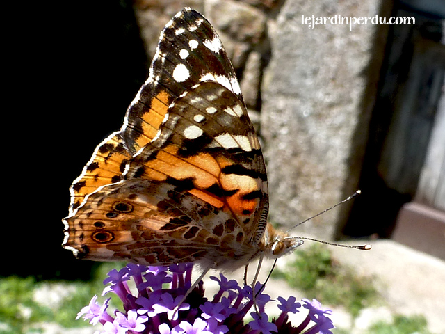 Painted Lady (Vanessa cardui) French name: La Belle Dame