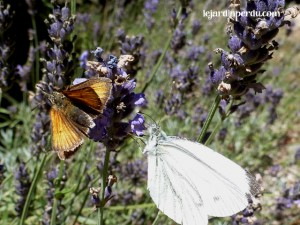 Skipper & small white on lavender
