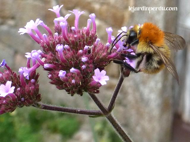 Bee on Verbena