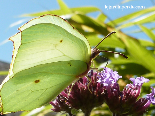 Brimstone butterfly on Verbena bonariensis