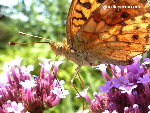 Fritillary butterfly on Verbena bonariensis