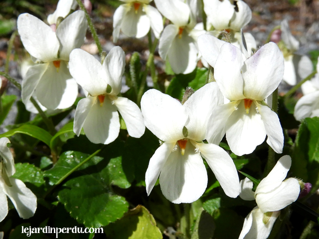 White Sweet Violets