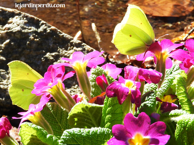 Brimstone butterflies in Primroses