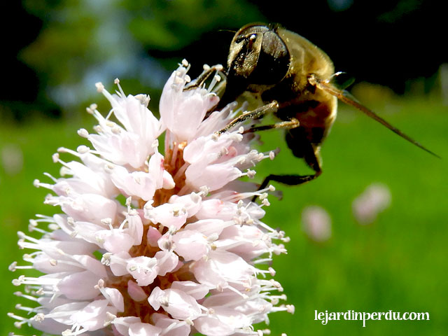 Bee-on-Bistort