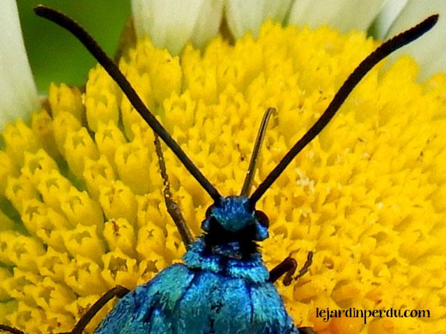 Forester-moth-proboscis