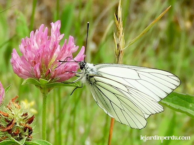 Black-veined white butterfly Aporia crataegi