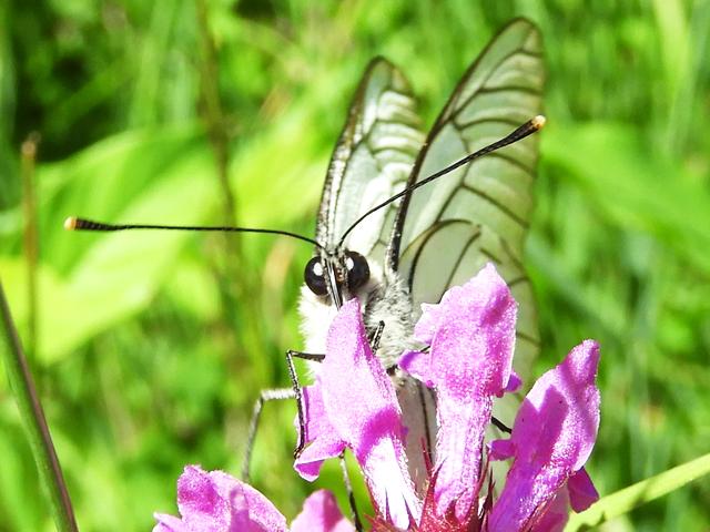 Black-veined white butterfly Aporia crataegi
