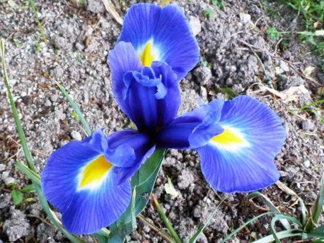 Iris fleur de lys
