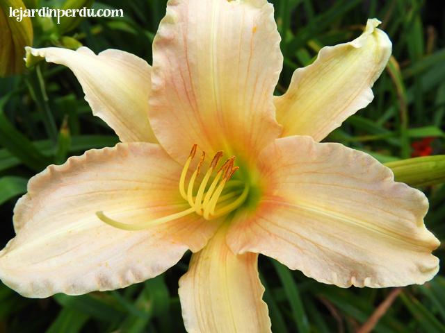 Yellow pink daylily