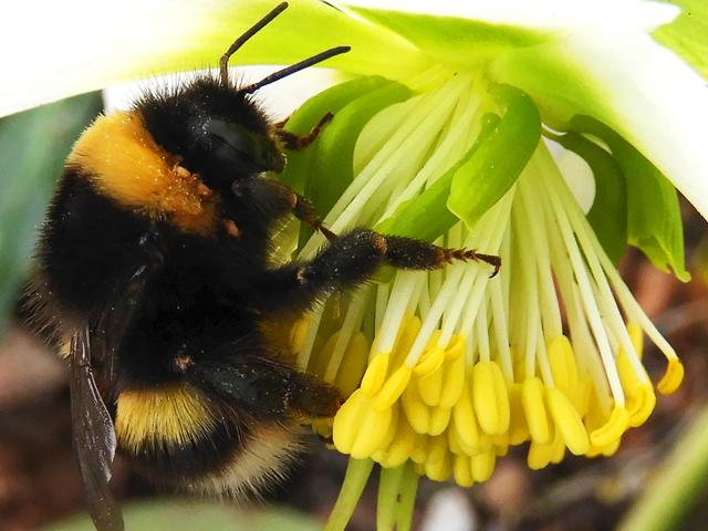Buff-tailed bumblebee Le Jardin Perdu