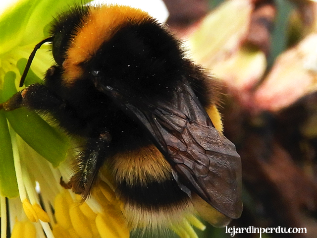 Buff-tailed bumblebee, bombus terrestris, bourdon terrestre