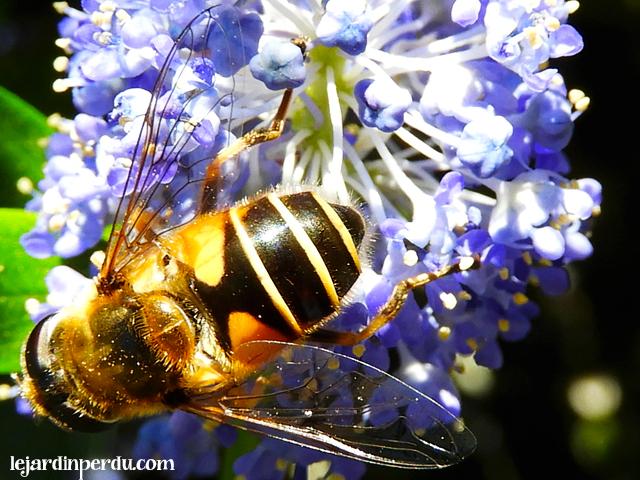 Plants for Pollinators: Ceanothus, Le Céanothe