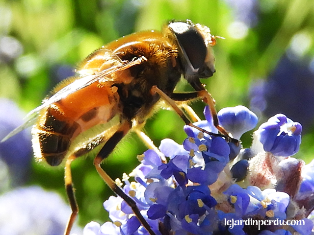 Plants for pollinators ceanothus
