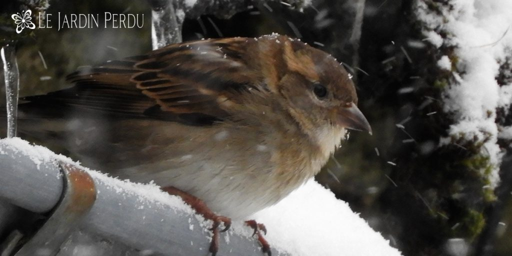 sparrow in snow