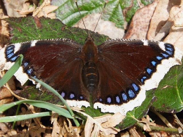 Camberwell Beauty, Nymphalis antiopa, Le Morio